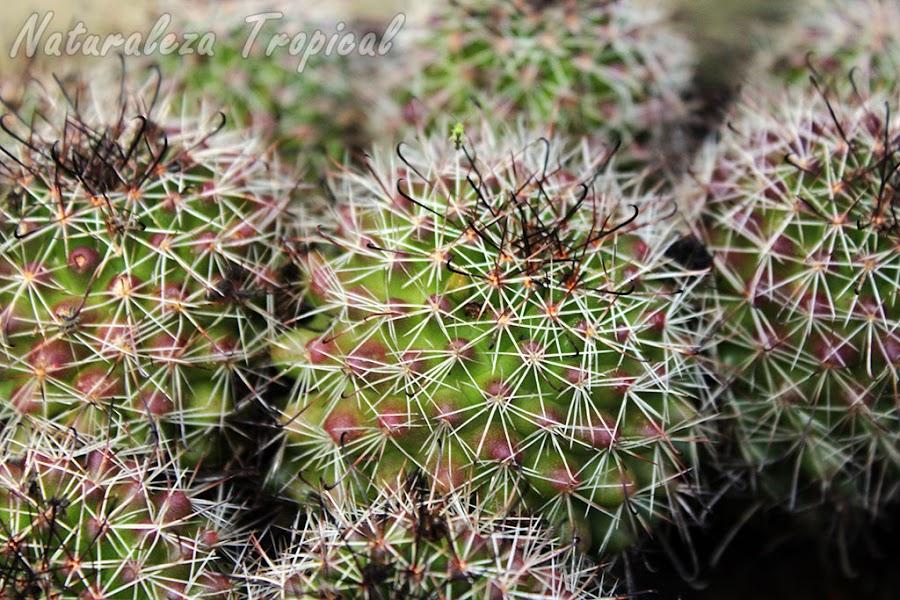 Conjunto de cactus Mammillaria beneckei