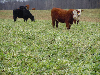 Grazing Cover Crops