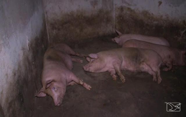 Operação apreende 32 animais em abatedouros clandestinos em São Luís