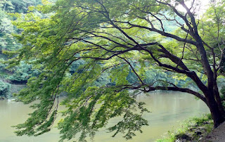 कदंब का पेड़
