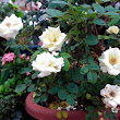 STEPH'S GREEN SPACE | My Green Stories | My Garden: Roses
