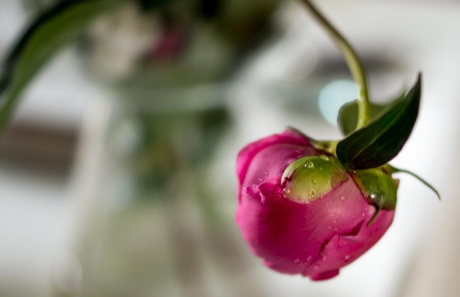 Blog + Fotografie by it's me | fim.works | Regentropfen auf einer rosa Pfingstrose