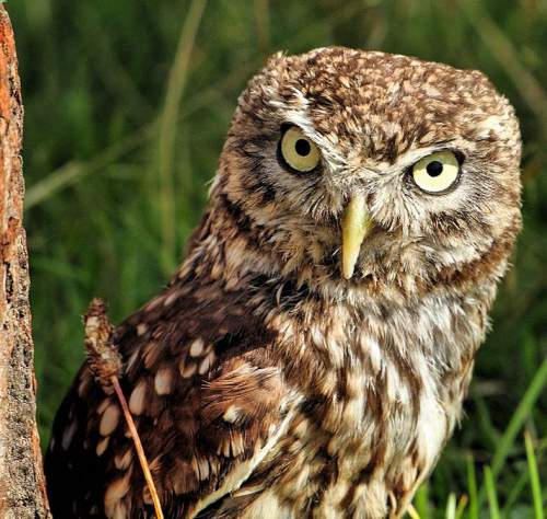 Indian birds - Image of Little owl - Athene noctua