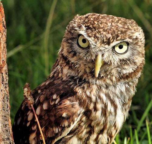 Indian birds - Image of Little owl - Athene noctua