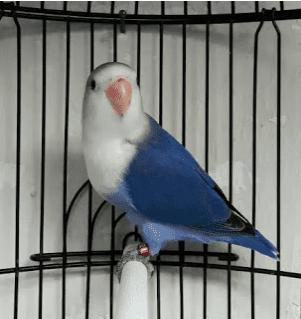 Lovebird Violet Juara