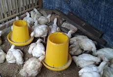 Kepadatan ideal untuk kandang Ayam Broiler atau Ayam pedaging