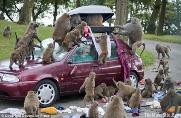 Macacos atacando