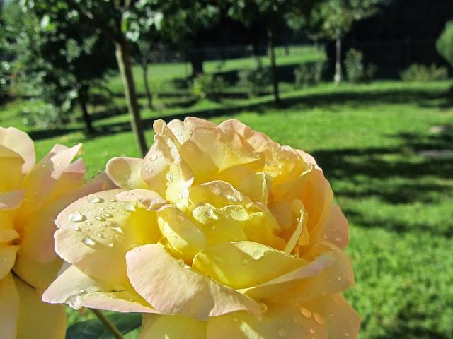 Rosa bianca sfumata gialla