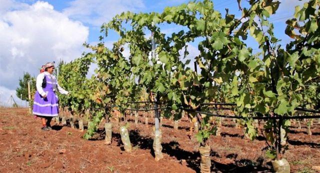 Proyecto vitivinícola beneficiará a familias agrícolas de Osorno