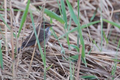 Cotxa blava (Luscinia svecica)