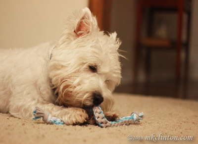 West Highland White Terrier chewing on braided toy