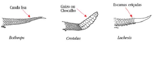 cauda-serpentes-Bothrops-Crotalus-Lachesis