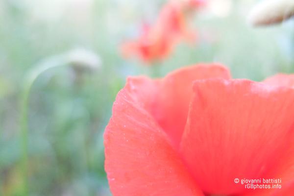 Fotografia di petalo di papavero