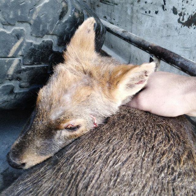 Pudu herido es rescatado en el sector Arenal