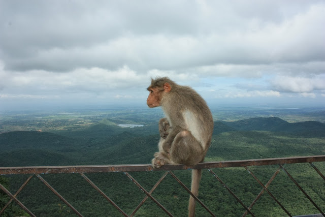 A bonnet macacque at Biligiri Ranganathaswamy Temple, overlooking the forests of BRT tiger reserve, Karnataka, India