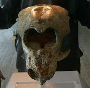 Cifelliodon is an extinct genus of haramiyid mammal from the Lower Cretaceous of North America.
