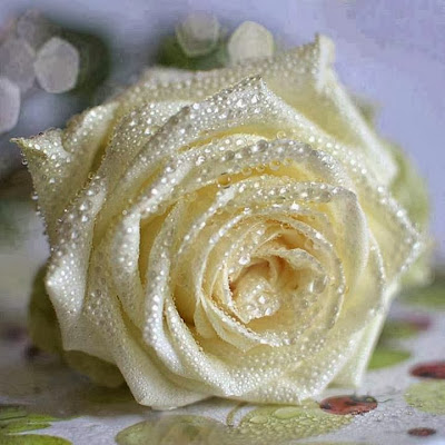 wonderfull white rose with water pearls