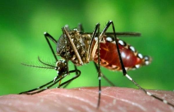 Mosquito Aedes aegypti transmissor da dengue, zika vírus e chikungunya