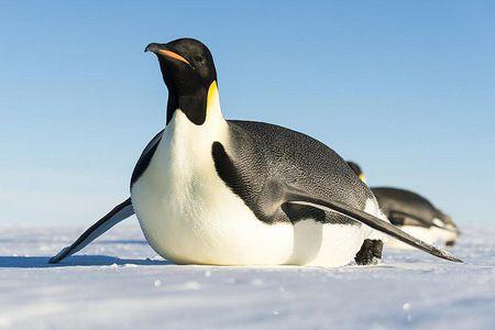 25 Fakta Hewan Penguin