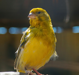 Pentingnya Proses Pemasteran Burung Kenari - Yang Terpenting Dalam Pemasteran Burung Kenari - Solusi Mastering Burung Kenari