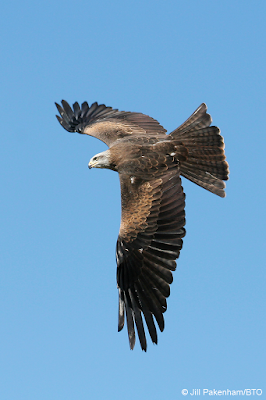 Black Kite by Jill Pakenham