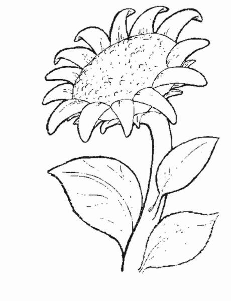 Free coloring pages printable sunflower coloring pages for Coloring pages of sunflowers