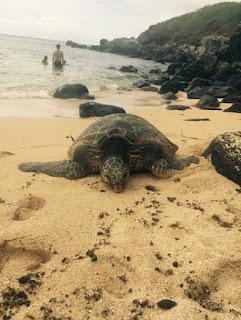Tortues géantes à Maui