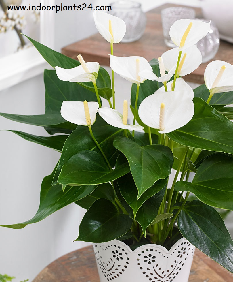 Indoor plantzantedeschia aethiopica araceae white calla lily many varieties have been developed that are more compact and free flowering than the species childsiana is a compact form green goddess has white izmirmasajfo Image collections