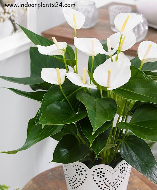 Araceae White calla lily plant information