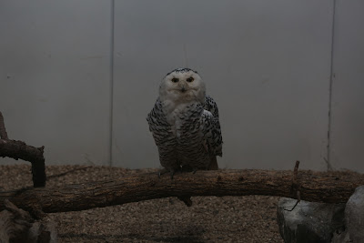 Original Snowy Owl Photo