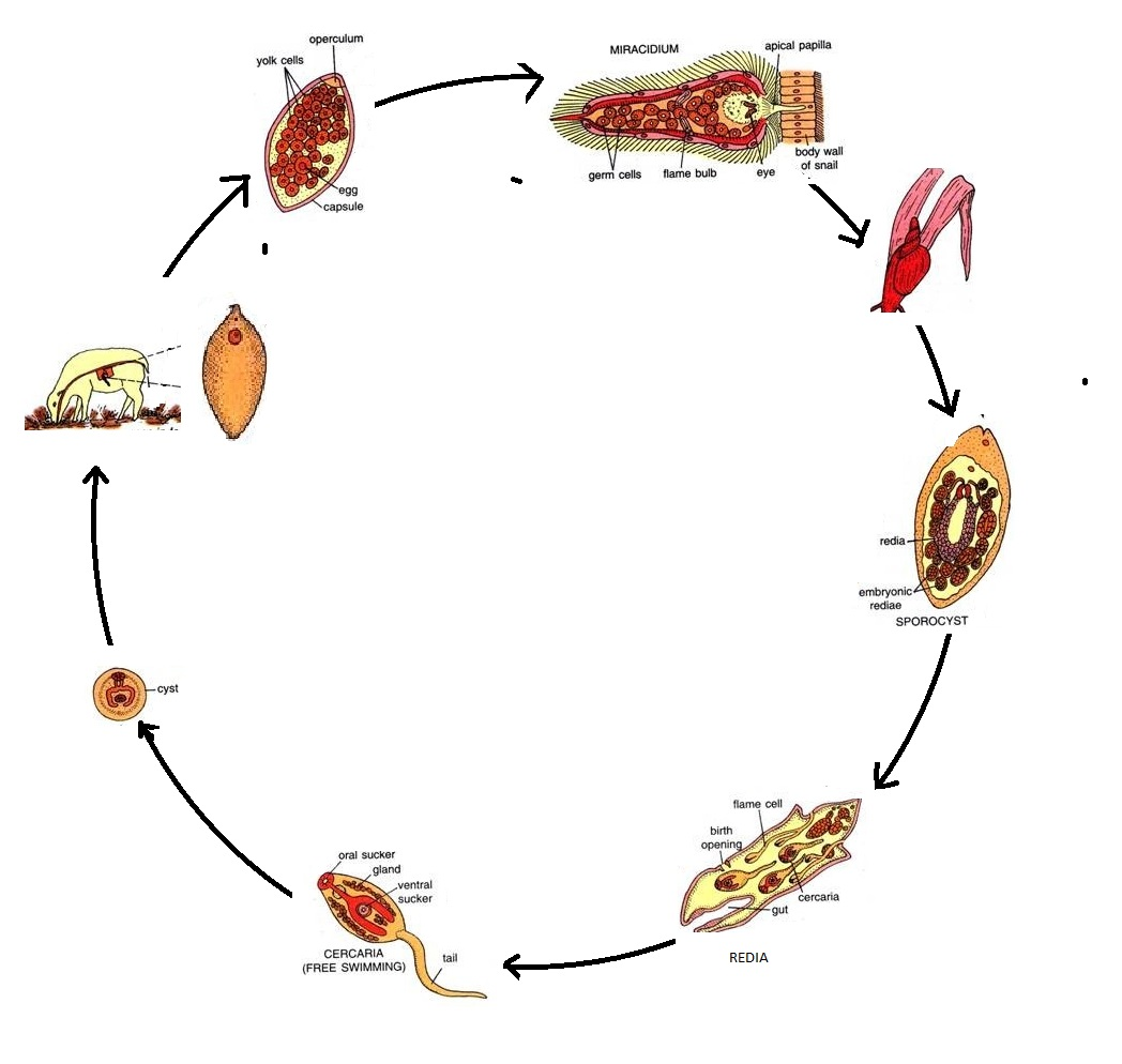 the biology and life cycle of A life cycle describes the series of stages that an individual organism passes  through between the time it is conceived until the time it produces offspring of its.