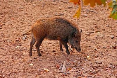 Wild Boar images of Kaziranga national park, Assam