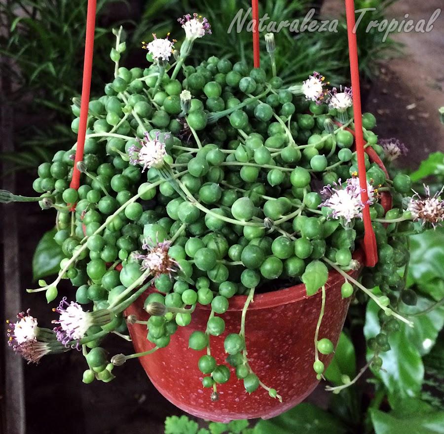 Floración de la planta suculenta Rosario o Collar de Perlas, Senecio rowleyanus