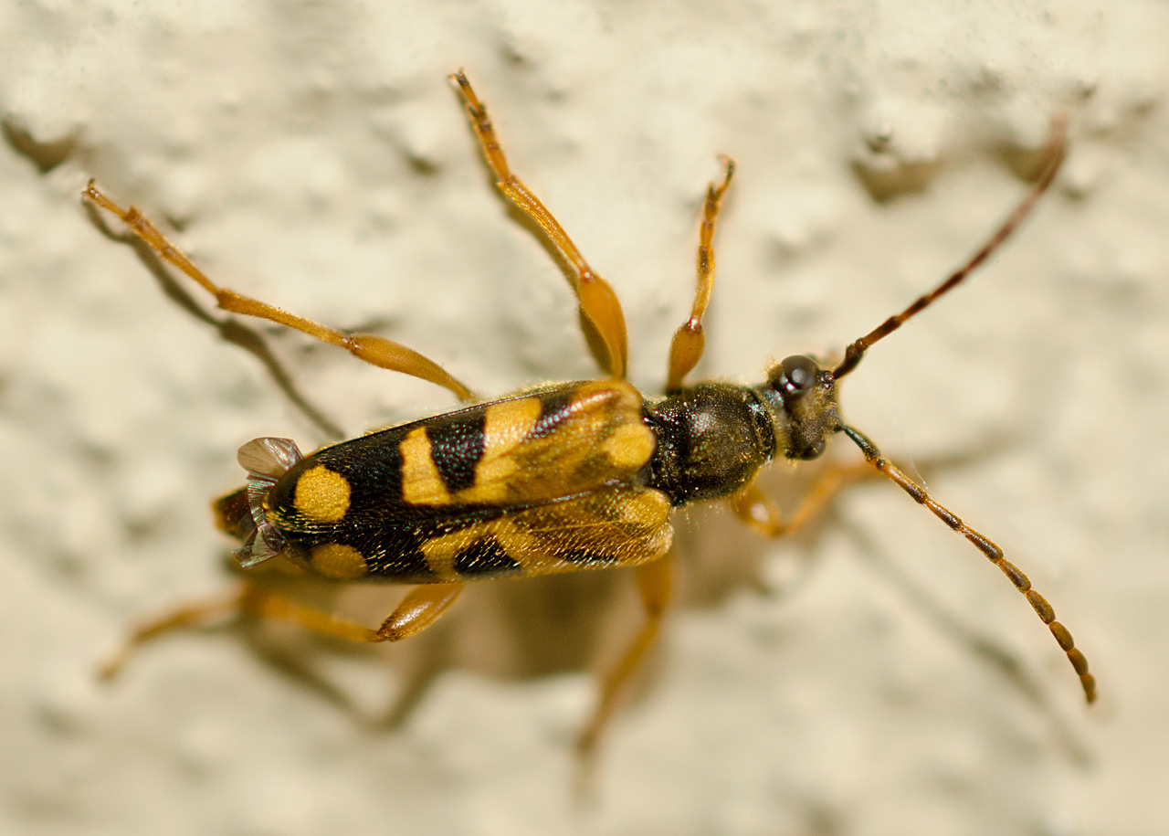 Notch-Tipped Flower Longhorn Beetle - InsectIdentification.org
