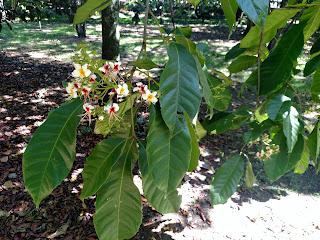 Cariseco – billia rosea colombia andes tree arbol leaves bark