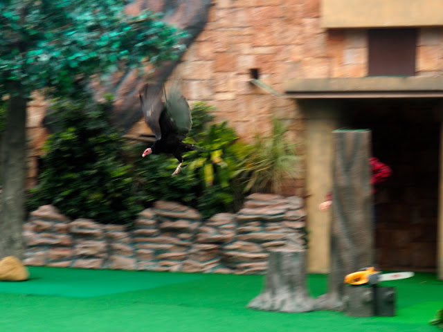 Vulture in flight during the Emperors of the Sky bird show at Ocean Park, Hong Kong