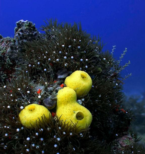 Ascidiacea or sea squirts