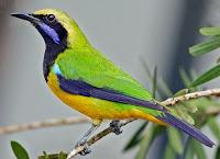 Burung Cucak Cungkok Jantan