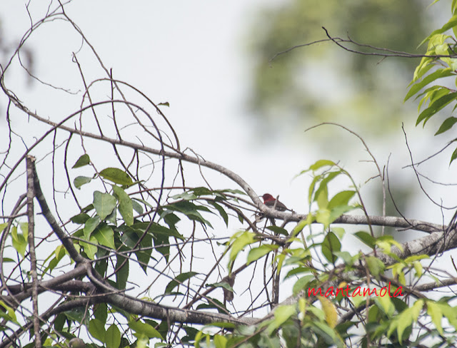 Crimson sun bird (Aethopyga siparaja)