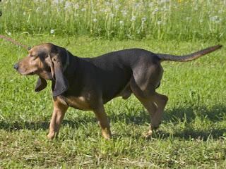 Bruno Jura Hound-pets-dogs-dog breeds