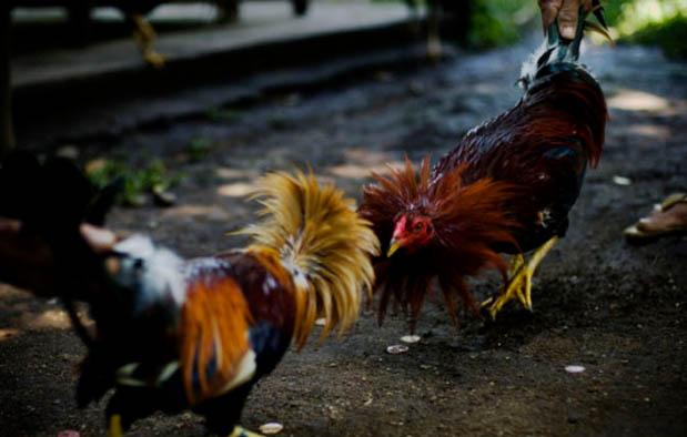 Indikator dalam Menilai Kemampuan Tarung Ayam Bangkok