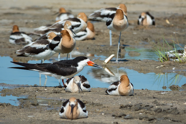 Black Skimmer and American Avocets, Rollover Pass