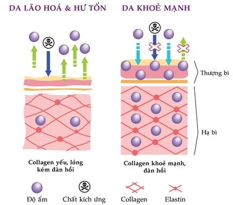 Collagen thủy phân là gì