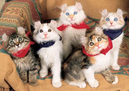 los amigos  Gato American Curl