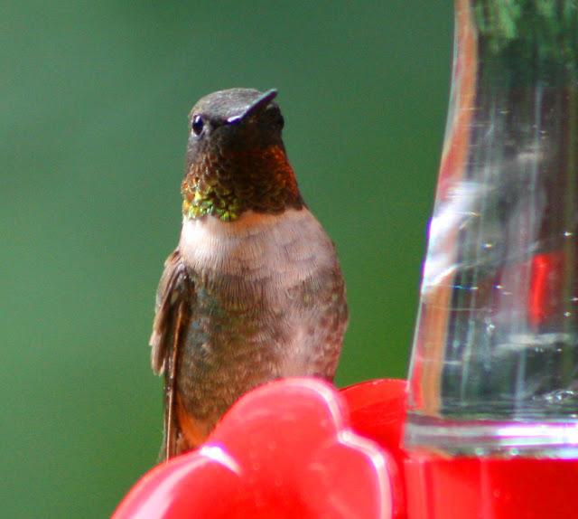 Vickie Henderson Art: Wintering Hummingbirds Fairing Well