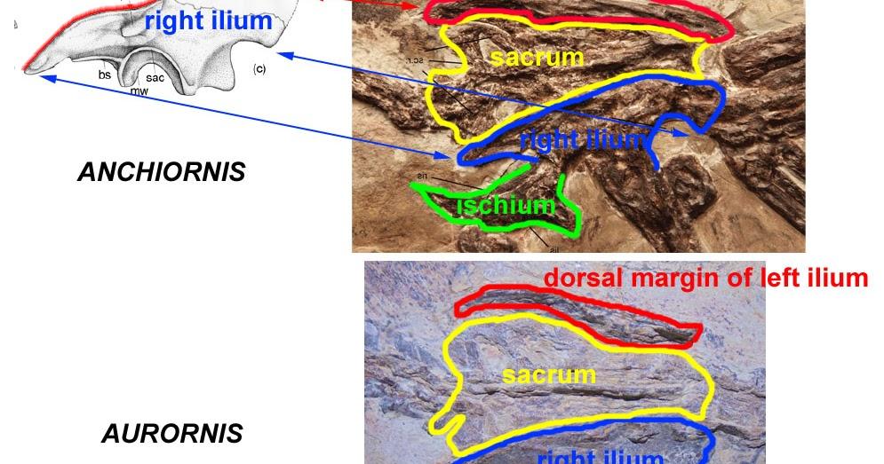 Theropoda aurornis sinonimo di anchiornis for Sinonimo di autore