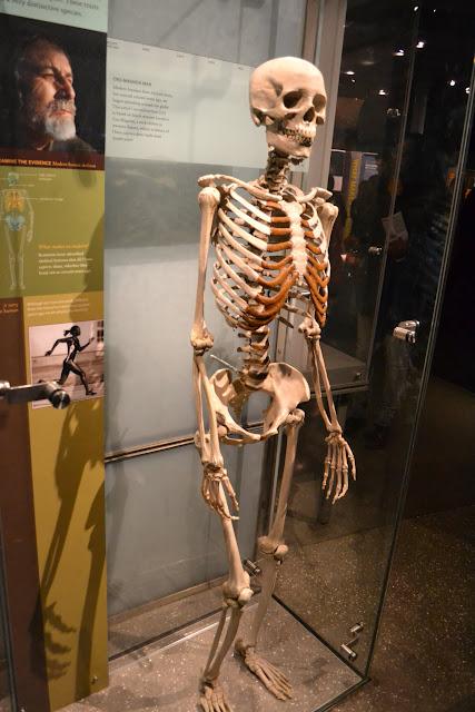 Американський музей природознавства, Нью-Йорк. Скелет кроманьйонця. (American Museum of Natural History)