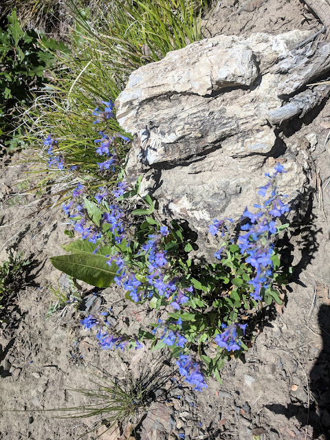 Forget Me Not Flower Deer Creek Dry Creek North Canyon Trail towards Alpine