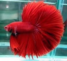 Ikan Cupang Halfmoon (Bulan Sepotong)