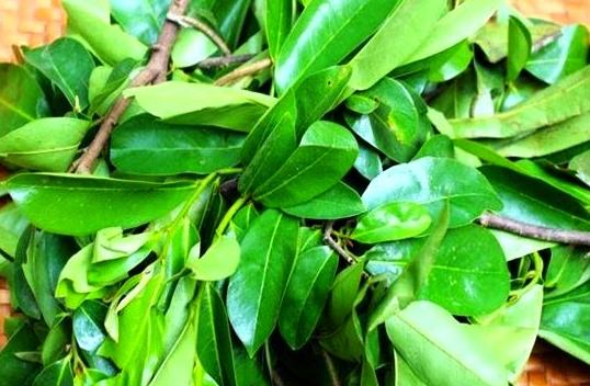 Manfaat daun sirsak untuk kanker, tumor, atau kista